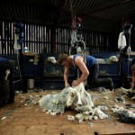 Shearing Herdwick Sheep in the lake district in cumbria