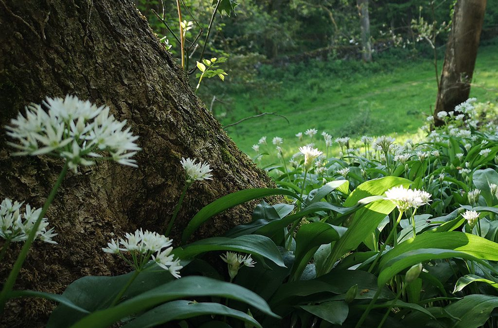 wild garlic on walks in boot